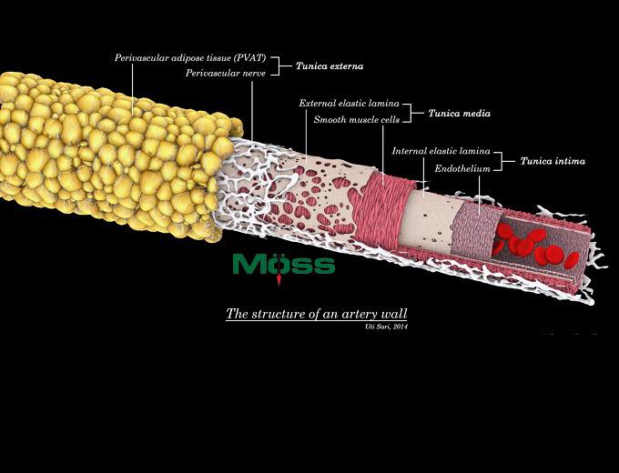 PVAT nên được coi là một phần của mạch máu